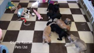 Little Rascals Uk Breeders New Litter Of Puggle