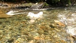 中岳キャンプ場の上流で川を渡るが、そのまま流されてしまうサモエドさ...