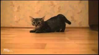 Самый быстрый кот (Прикол кота)