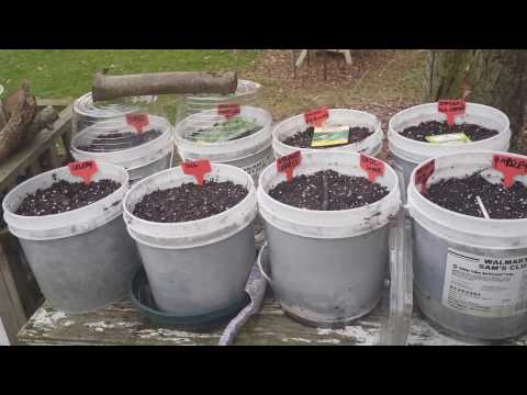 No-Transplant Winter Sowing - New Twist On Winter Sowing Mini Greenhouse Method