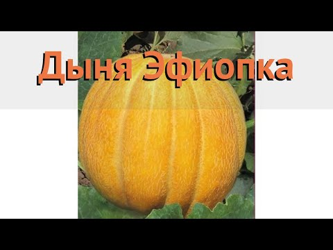 Дыня обыкновенный Эфиопка (efiopka) 🌿 дыня Эфиопка обзор: как сажать семена дыни Эфиопка