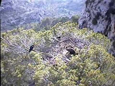Black Vulture Nestcam #7: Attack of the Crows