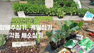 양배추심기/ 케일, 상추, 쑥갓, 아욱, 깻잎 심기/ …