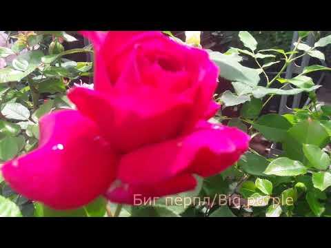 """Биг Перпл (Big Purple) - питомник роз """"Розы от Татьяны"""""""