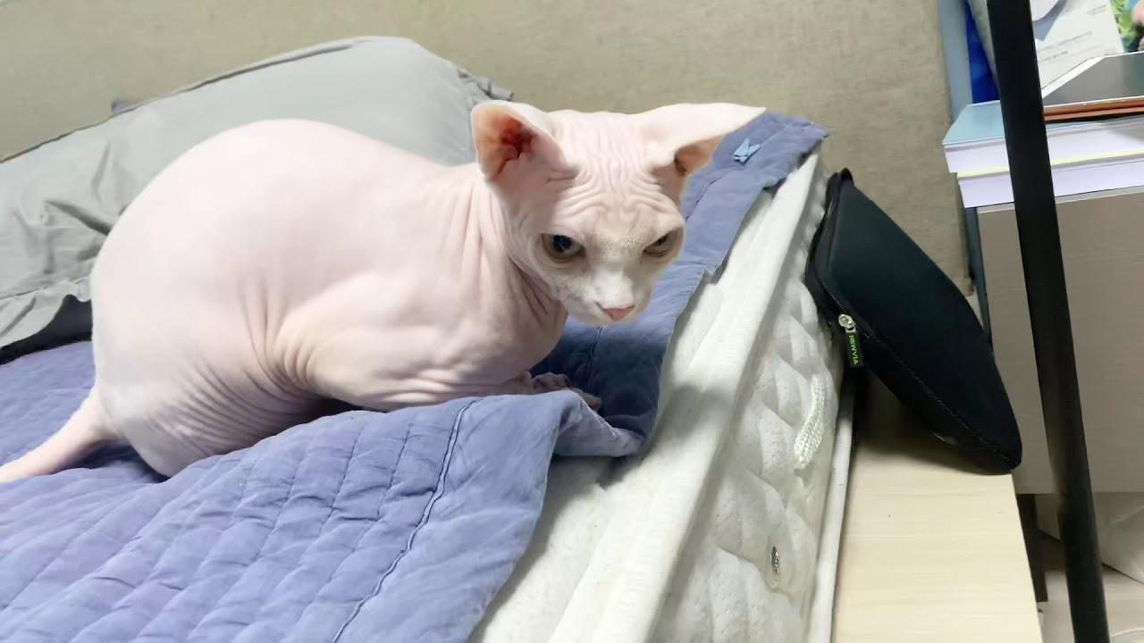 털 뿜어내는 짐승 고양이 그리고 털이 없는 스핑크스 고양이