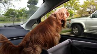 Sad Ruby Cavalier King Charles Spaniel dog calling for grandpa to come back