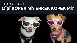 Dişi Köpek Mi? Erkek Köpek Mi?   Köpek Eğitimi Ve Köpek Bakımı