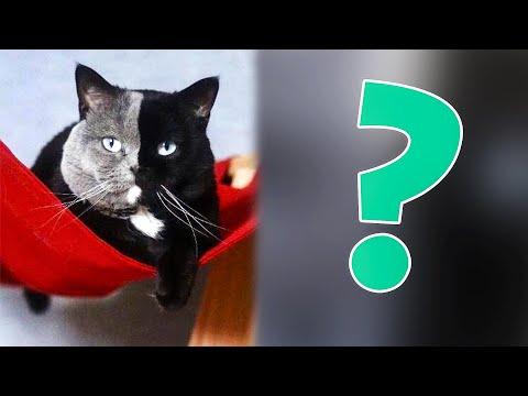 Вопрос: Выдают ли документы котятам-метисам от родителей разных пород?
