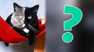 У редчайшего двуликого кота родились котята, цвет которых поразил пользователей сети
