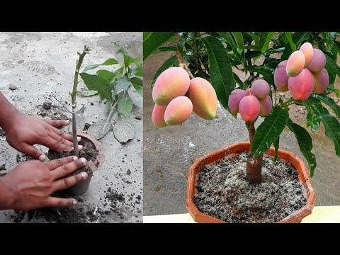 আম গাছে জোড় কলম করার পদ্ধতি   Mango Root Grafting Techniques   Mango Gr...