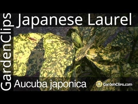 Aucuba japonica - Spotted Laurel - Japanese laurel - Gold Dust Plant