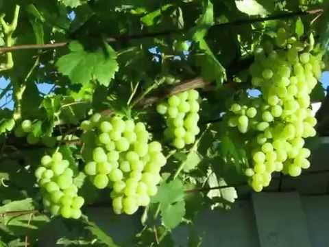 Мой виноград на Северо Западе Украины