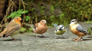 Kediler için Video - Orman Kuşları