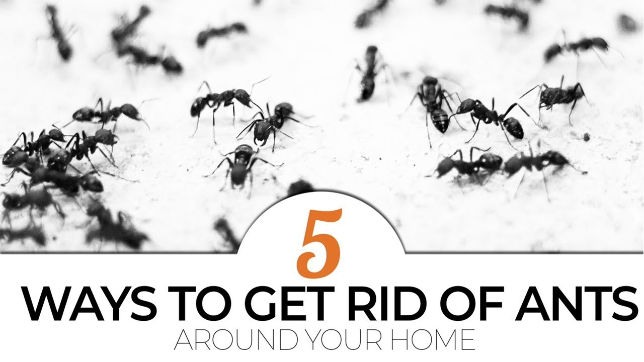 top 5 ways to get rid of ants around your home