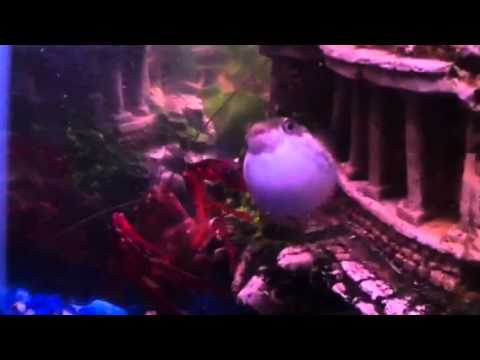 Lobster Attacking Puffer Fish