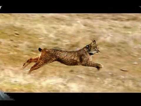 The Endangered Iberian Lynx