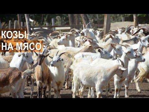 Мясное козоводство. Разведение коз на мясо. Никакого молока! КФХ Енина. Республика Адыгея