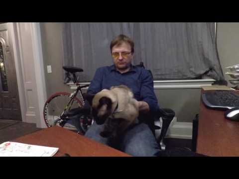 Siamese Cat - My cat Tutu does not let me do any work