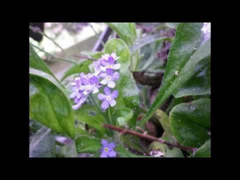 Dora Pejačević ~Flowers' Life Op.19 / 4.Forget-me-not (Pf. Keiko Nishizu)