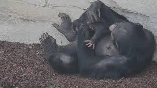 Nace en BIOPARC Valencia una cría de chimpancé a la vista del público