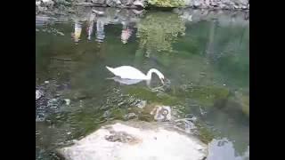 Крым. Алупка. Воронцовский парк. Одинокий лебедь.(Одинокий лебедь. Верен только своей умершей подруге. Когда его снимают на фото или видео, он позирует всегд..., 2016-09-25T18:56:38.000Z)