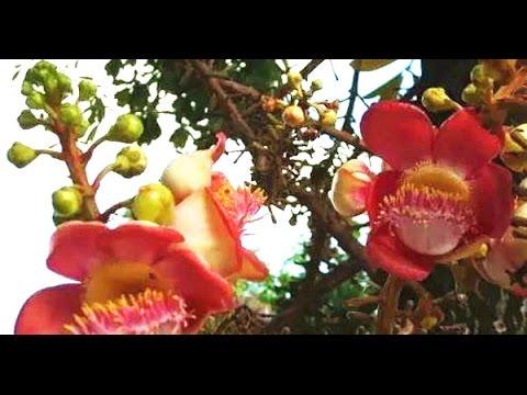 佛門聖樹,世佛門聖樹,世人少見的菩提樹和菩提花