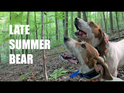 BEAR HUNTING WITH HOUNDS - LATE SUMMER BEAR