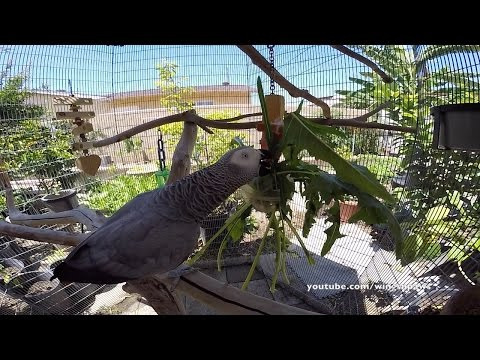 African Grey Aviary/Cage Setup