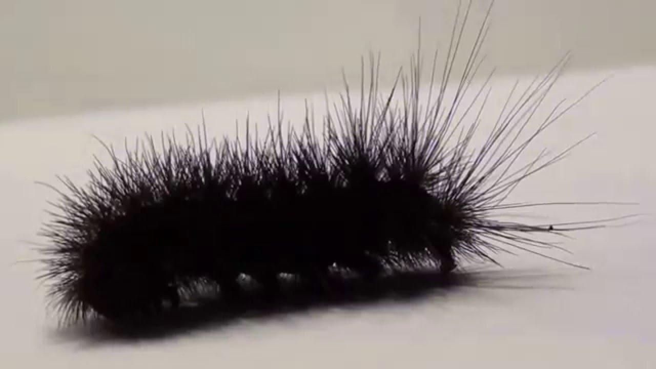Green hairy caterpillar been