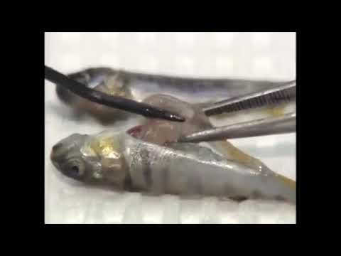 Infectious Pancreatic Necrosis (IPN) - Viral Diseases In Trout - Signs, Identification, Treatment