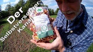 Körner Speisemais im Garten anbauen