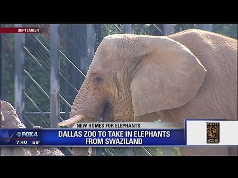 Thumbnail: New elephants will be part of the Dallas Zoo's Giants of the Savanna exhibit