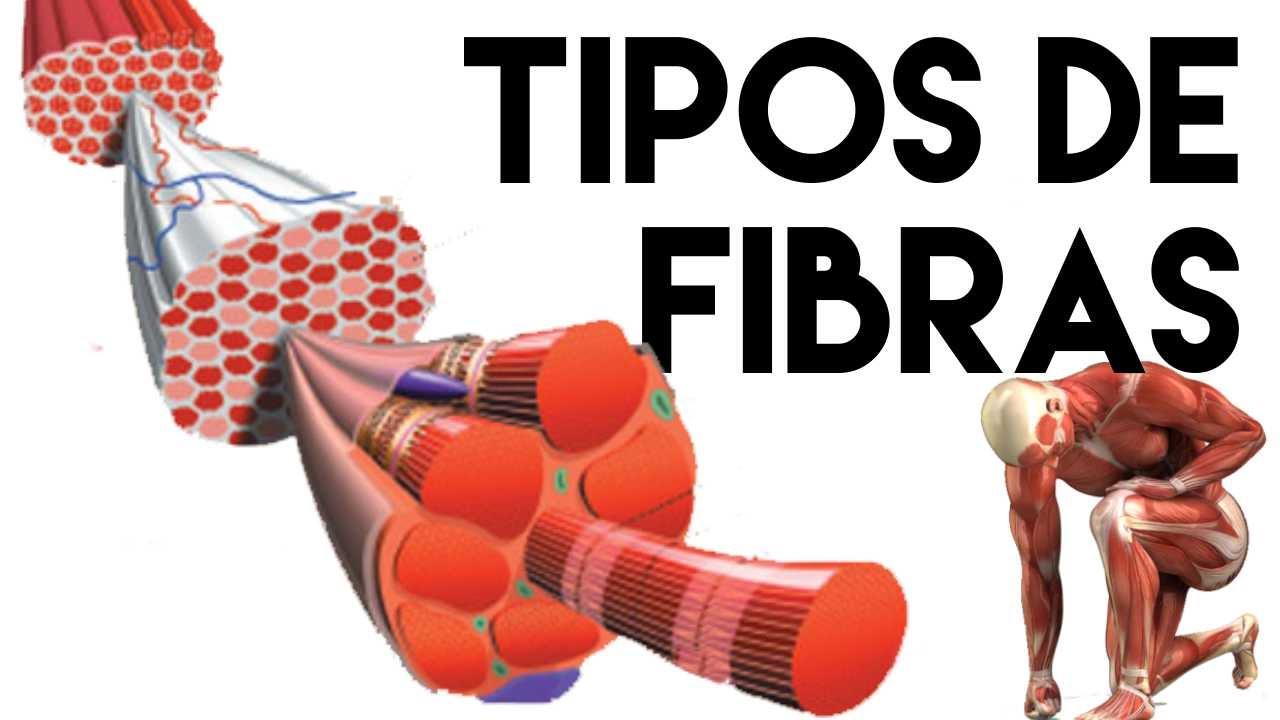 TIPOS DE FIBRAS MUSCULARES - YouTube