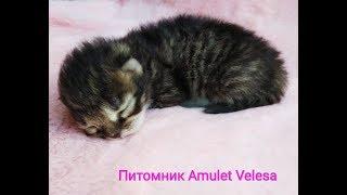 Сибирский котёнок от 0 до 7 дней