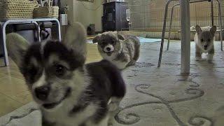 Cute Corgi Puppies Go Out Cage / ケージの外で大歓迎してくれるコーギー子犬達 20150613 Part 2 Welsh Corgi Pembroke