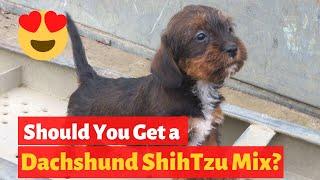 All About the ShihTzu Dachshund Mix (Schweenie) | Should you get a Schweenie?
