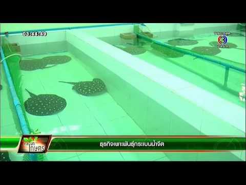 คลินิก เกษตร   ธุรกิจเพาะพันธุ์กระเบนน้ำจืด    30-01-58