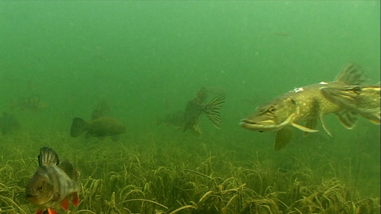 male pike fight during spawning fishing canal