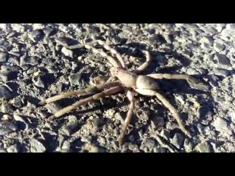 Rain Spider - Huntsman - South Africa - Boulders Beach