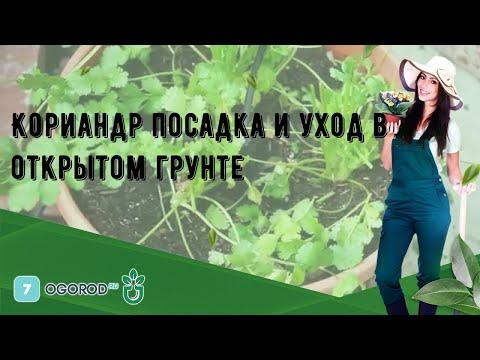Вопрос: В чем отличие кориандра от кинзы Это разное растение или одно и то же?