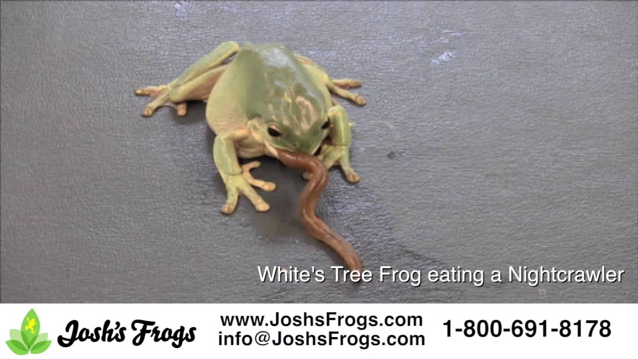 What Do White S Tree Frogs Eat You