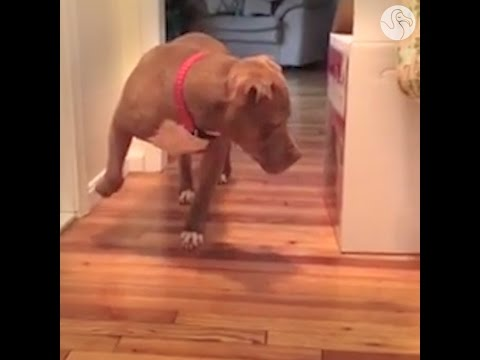 Pit Bull Walks Very, Very Carefully To Avoid Disturbing The