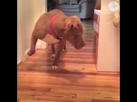 Pit Bull Walks Very, Very Carefully To Avoid Disturbing The Cat
