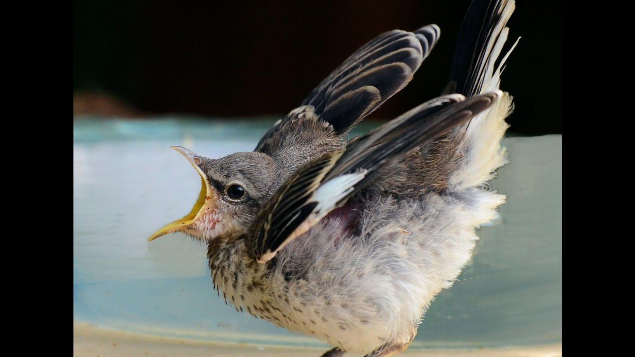 Baby mockingbird feeding - YouTube