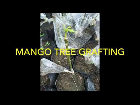 Mango tree grafting...