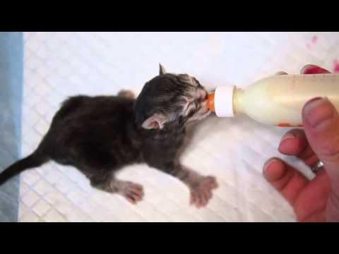 Koty Maine Coon | Zabawne ujęcia z kotami Maine Coon!