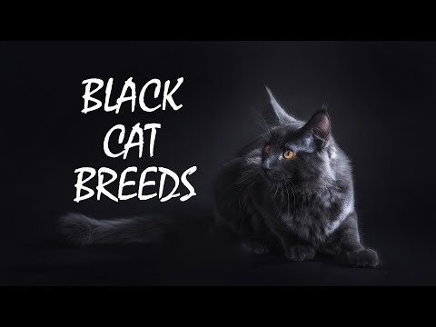 Fascinating Black Cat Breeds