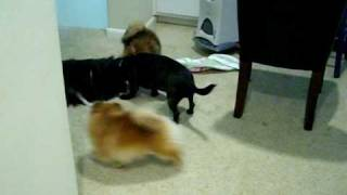 Pomeranians Playing