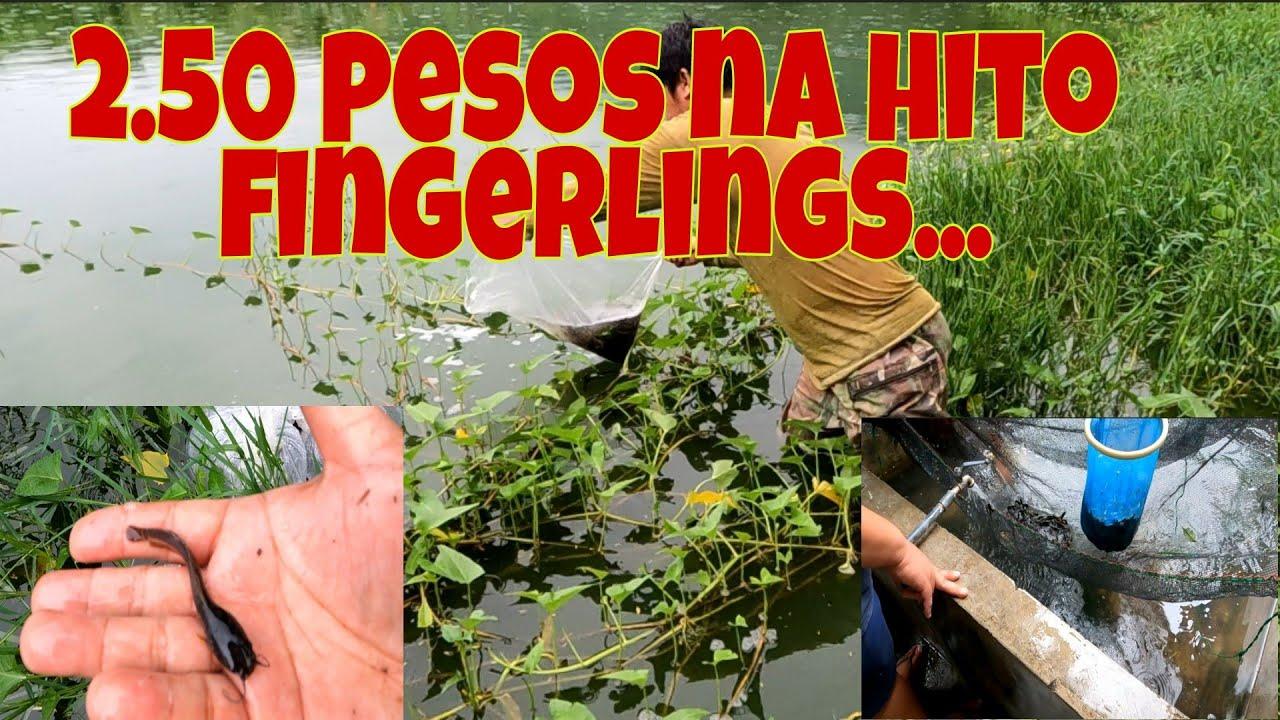 Download Murang hito fingerlings | Inabot ng malakas na ulan