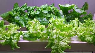 늘푸른채 수경재배기 가정용 사무실에서 재배하고 있습니다…